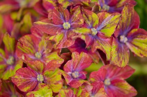 Pistachio Hydrangea Flowers