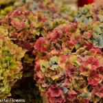 Antique Fall Cut Hydrangea