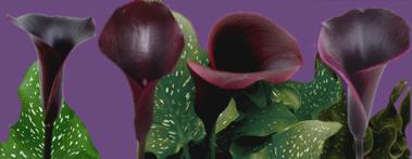 black calla lily