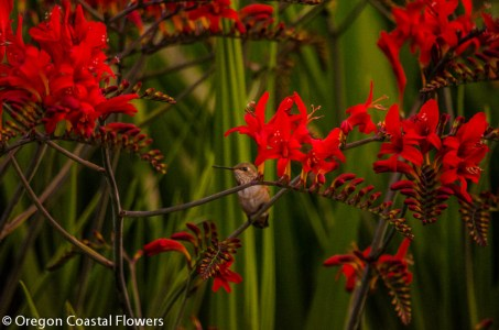 Blooming Red Crocosmia