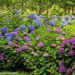Blue and Purple Coastal Hydrangea