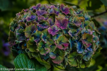 Blue Antique Hydrangea