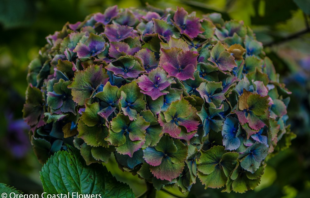 World Famous Antique Hydrangea