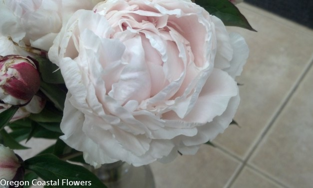5.23.19 Bulk Blush Peonies and White Peony Flowers sold wholesale.