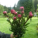 Burgundy Peony Flowers