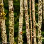 Decorative Birch Fencing