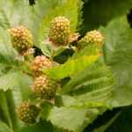 Decorative Thornless Blackberry Branches