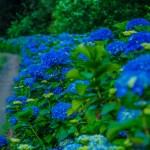 Deep Blue Fresh Hydrangea Wedding Flowers