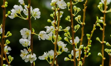 Delicate, White, Blooming Plum Branches