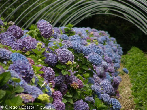 Family Owned Lavender Hydrangea Farm