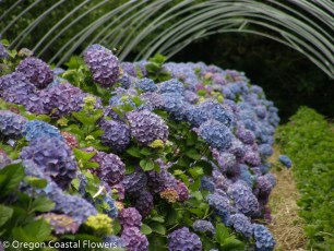 Family Owned Lavender Hydrangea Farm
