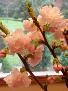 Flowering Pink Cherry Wedding Branches