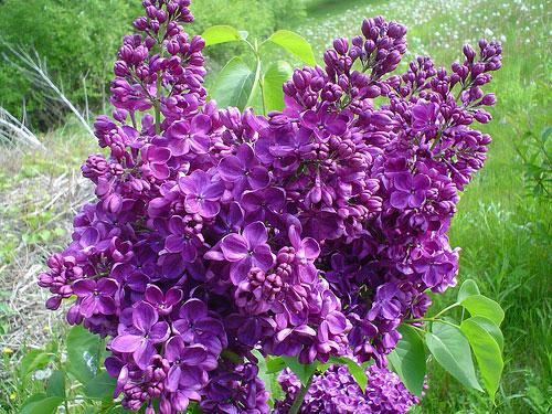 Premium Oregon Lilac