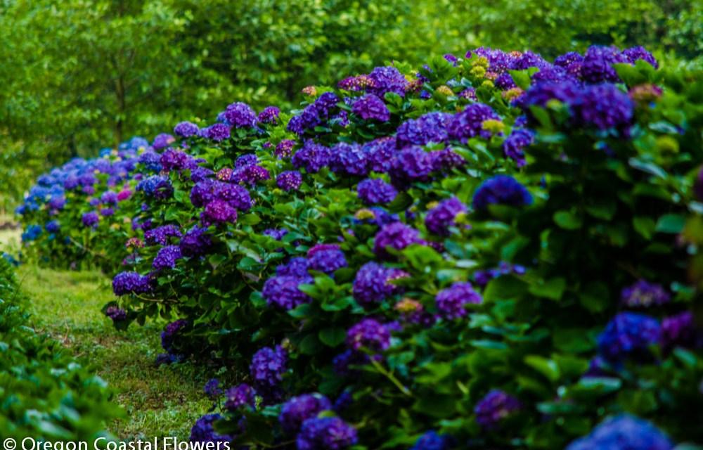 Premium Coastal Hydrangeas Summer Flush Pricing
