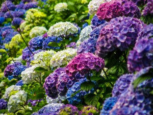 Fresh Hydrangea in a Variety of Colors