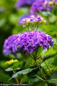 Fresh Purple Hydrangea Flowers