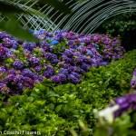 Fresh Purple Hydrangea in the Field