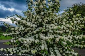 Gorgeous White Popcorn Viburnum