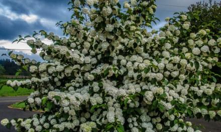 Popcorn Viburnum & other Specialty Viburnum Flower Wholesale 4.23.18