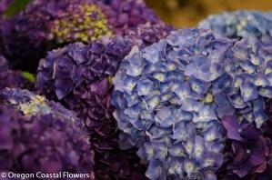 Huge Lavender Hydrangea