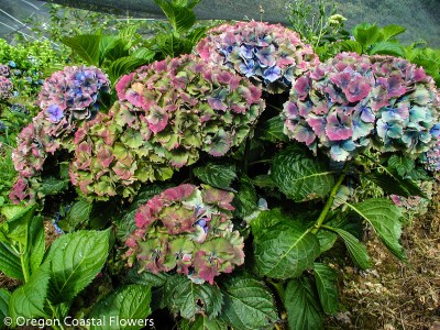 Jewel Tone Antique Hydrangea Flowers
