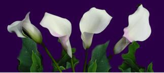 mini white calla lily