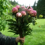 Mother's Day Pink Peonies