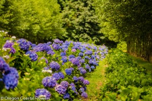 Naturally Grown Dark Blue Hydrangea