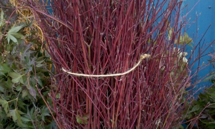 Red Twig Dogwood, Handstripped