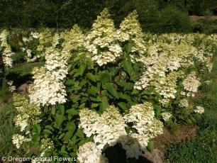 Pee Gee Hydrangea in Bloom