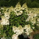Pee Gee Hydrangea in Bloom