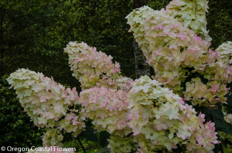10.01.18 Pee Gee Hydrangeas Wholesale Flowers Fall Weddings