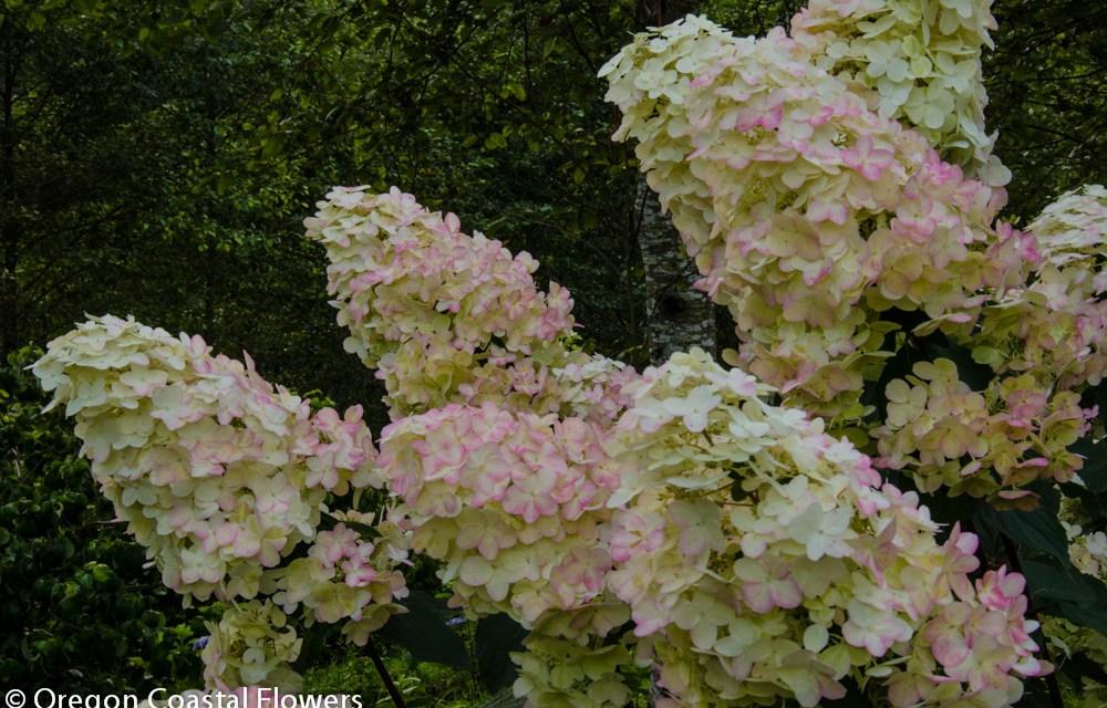 10.01.18 Pee Gee Hydrangeas Wholesale Flowers Fall Weddings