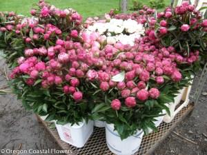 Peonie flowers