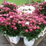 Spring Wedding Pink Peonies