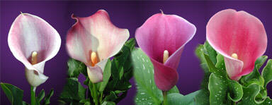 pink calla lily flower