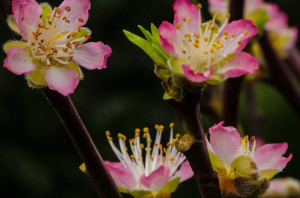 Pink Peach Blooming Branches