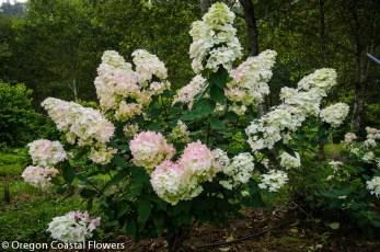 Pink Tinted Creamy White PeeGee Hydrangea