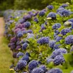 Summer Wedding Blue Hydrangea