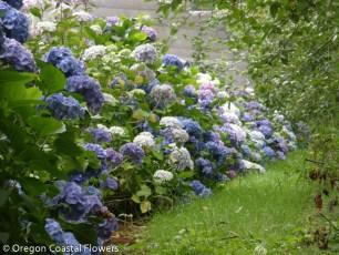 Sustainable Fresh Hydrangea Flowers