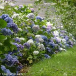 Sustainable Fresh Hydrangea Flowers
