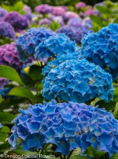 Vivid Blue Fresh Hydrangea Flowers