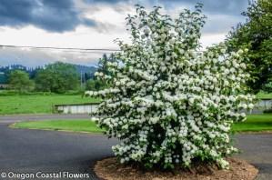 White Blooming Popcorn Viburnum