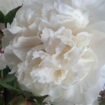 White Bridal Bouquet Peonies