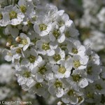 White Spirea Flowers