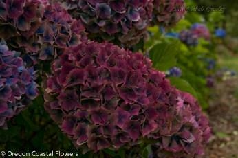 Wholesale Antique Burgundy Hydrangea Flowers
