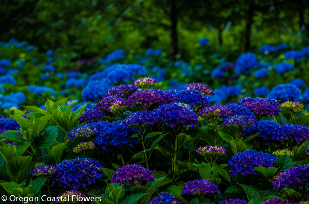 Purple & Blue Hydrangeas
