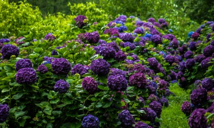 Purple Hydrangea Wedding Flowers