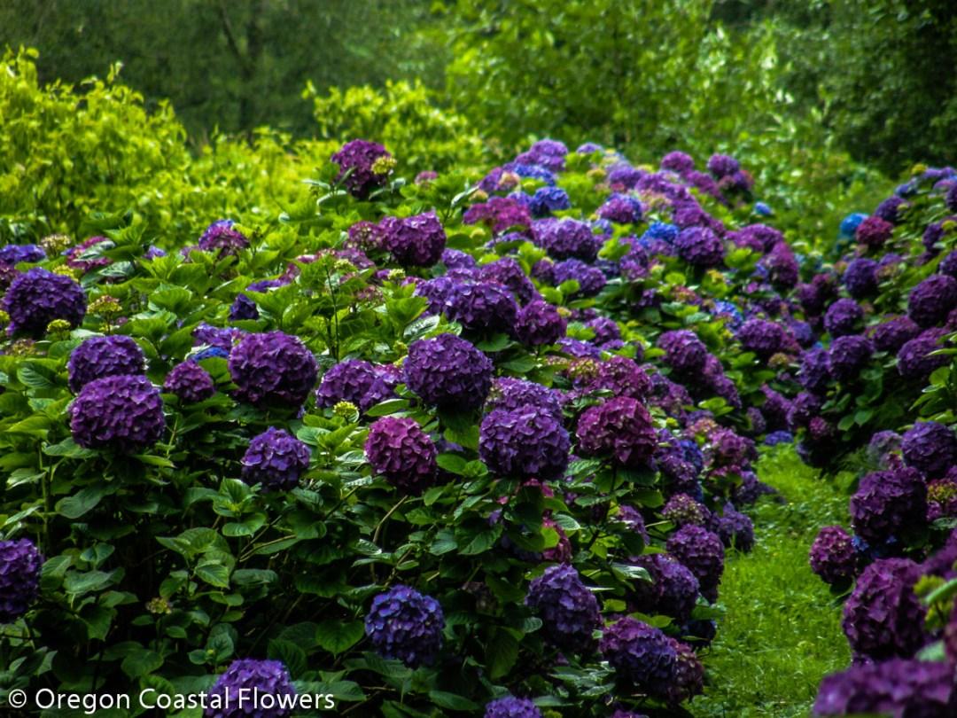 Wholesale Purple Hydrangea