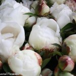 Wholesale White Peonies